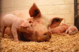Die Schweinepest in China hat ca. die Hälfte des Bestands vernichtet
